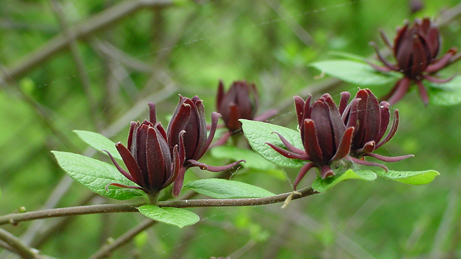 Spring brings in the strawberry scented blooms of the Sweetshrub, Calycanthus floridus.