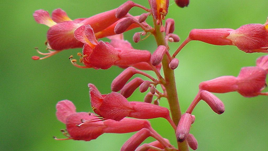The Red Buckeye, Aesculus pavia, is a colorful addition to the spring landscape.
