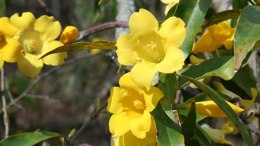 From the cold of winter emerges the first flowers: Yellow Jessamine, Gelsemium sempervirens.